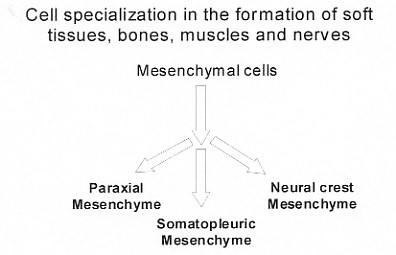 cell specialization in the formation of soft tissues, bones, muscles and nerves