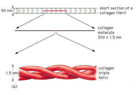 collagen triple helix
