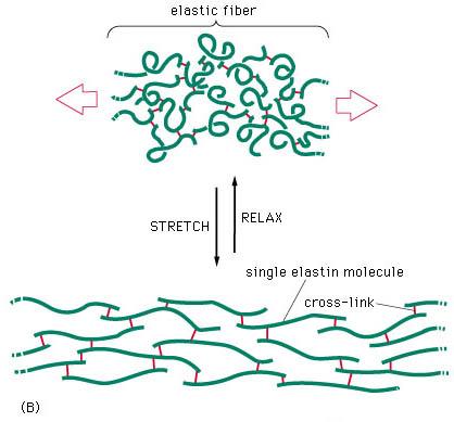 elastic fibre