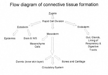 flow diagram of connective tissue formation
