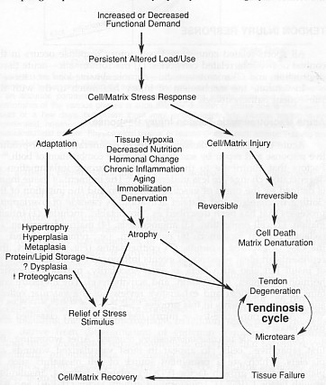 The flow diagram illustrates how tendinosis results from a failed cell matrix adaptation to excessive changes in load use. (Leadbetter 1992)